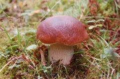 Champignon de couche edulis de boletus dans la forêt Photos libres de droits