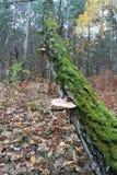 Champignon de couche en bois image libre de droits
