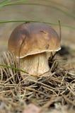 Champignon de couche en nature Image stock