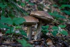 Champignon de couche de forêt dans l'herbe Photo libre de droits