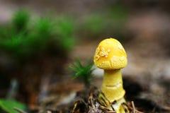 Champignon de couche jaune Photo libre de droits