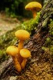 Champignon de couche jaune Photos libres de droits