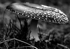 Champignon de couche monochromatique Photos libres de droits