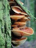 Champignon de couche orange vivant sous l'écorce d'arbre Images libres de droits