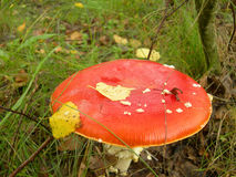 Champignon de couche rouge Photo stock