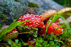 Champignon de couche rouge Photo libre de droits