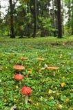 Champignon de couche rouge de mouche Photos libres de droits