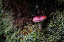 Champignon de couche rouge sauvage photo stock