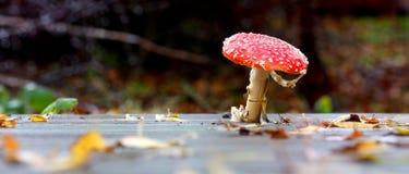 Champignon de couche rouge sauvage Photos libres de droits
