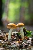 Champignon de couche sauvage dans la forêt Photographie stock
