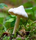 Champignon de couche sur le bord de forêt Photos libres de droits