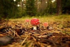 Champignon de couche toxique dans la forêt Photographie stock