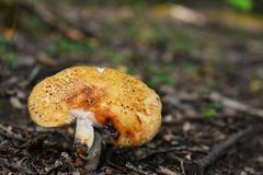 Champignon de foetens de Russula Photo stock