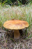 Champignon de forêt Images stock