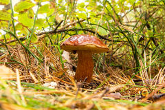 Champignon de forêt d'automne Photo libre de droits