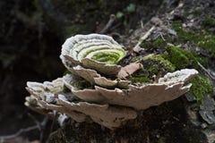 Champignon de Forrest Photos libres de droits