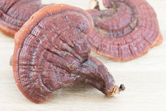 Champignon de Ganoderma Lucidum sur le bois Photo stock