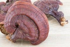 Champignon de Ganoderma Lucidum sur le bois Photos libres de droits