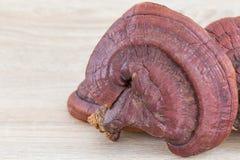Champignon de Ganoderma Lucidum sur le bois Images libres de droits