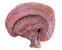 Champignon de Ganoderma Lucidum sur le fond blanc Image stock