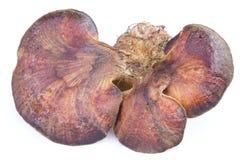 Champignon de hepatica de Fistulina Photos libres de droits
