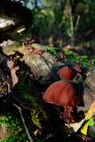 Champignon de l'oreille du juif (auricule-judae d'Auricularia) Image libre de droits
