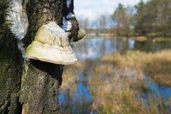 Champignon de matière inflammable sur l'arbre Image stock