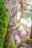 Champignon de matière inflammable sur le tronc d'arbre moussu Image stock
