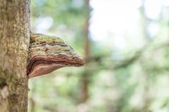 Champignon de matière inflammable sur un tronc d'arbre Photo libre de droits