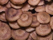 Champignon de miel d'agaric de champignons ou mellea comestible d'Armillaria, chapeaux de groupe, macro, foyer sélectif, DOF peu  Images libres de droits