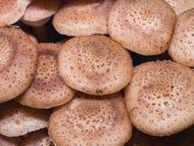 Champignon de miel d'agaric de champignons ou mellea comestible d'Armillaria, chapeaux de groupe, macro, foyer sélectif, DOF peu  Photos stock