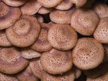 Champignon de miel d'agaric de champignons ou mellea comestible d'Armillaria, chapeaux de groupe, macro, foyer sélectif, DOF peu  Image stock