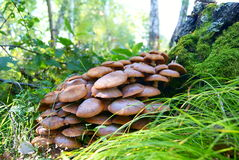 Champignon de miel de champignon de mellea d'Armillaria Image stock