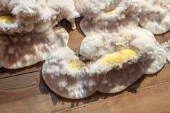 Champignon de moule pelucheux jaune blanc sur le conseil en bois dans la cave, grenier, sous-sol dans le bâtiment résidentiel images stock