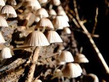champignon de parapluie Images stock