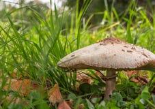 Champignon de parasol blanc hirsute sur le plancher de forêt Image libre de droits