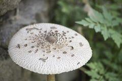 Champignon de parasol détaillé dans un environnement naturel photos libres de droits