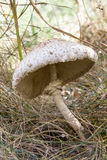 Champignon de parasol dans la forêt d'automne Photographie stock