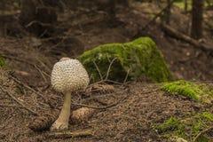 Champignon de parasol toxique dans la forêt d'automne Photographie stock libre de droits