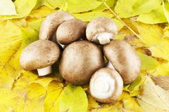 Champignon de champignon de paris en feuilles image stock