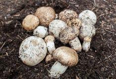 Champignon de paris s'élevant dans le champignon de forêt de forêt photos stock