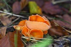 Champignon de peau d'orange, aurantia d'Aleuria Image libre de droits