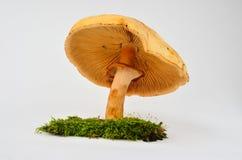 Champignon de Phaeolepiota Aurea Photographie stock libre de droits