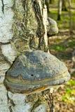Champignon de Polypore Photographie stock libre de droits
