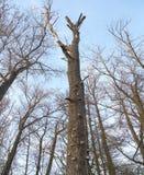 Champignon de Polypore sur l'arbre sec Image libre de droits