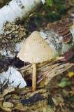 Champignon de procera de Macrolepiota Champignons de cueillette dans la forêt d'automne photo stock