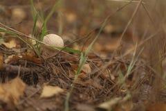 Champignon de Puffboll parmi les feuilles jaunes photo libre de droits