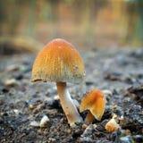 Champignon de saccharinus de Coprinellus Photographie stock libre de droits