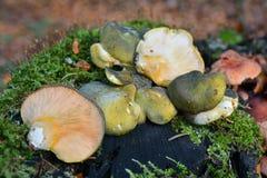 Champignon de serotinus de Panellus photographie stock