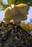 Champignon en bois Images stock